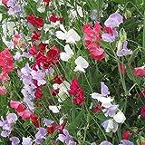 Sweet Pea Flower Garden Seeds - Everlasting - 4 Oz - Perennial Vine Flower Gardening Seeds - Rose, White & Red