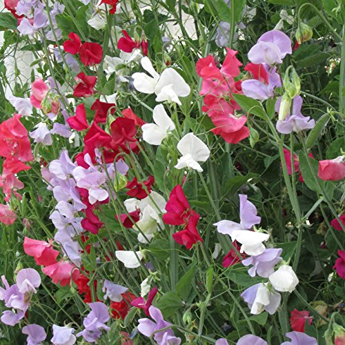 Sweet Pea Flower Garden Seeds - Everlasting - 4 Oz - Perennial Vine Flower Gardening Seeds - Rose, White & Red by Mountain Valley Seed Company