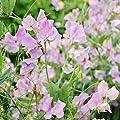 Sweet Pea Seeds Royal Lavender