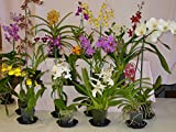 Orchid Plant - Six Oncidium/Intergeneric Plants