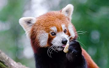 Amazon Com Ellostorka Red Panda Lesser Panda Cute Animals Animal