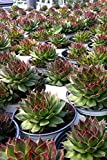Hens and Chickens Succulents Assorted, 2in pot Live Plant Houseplant