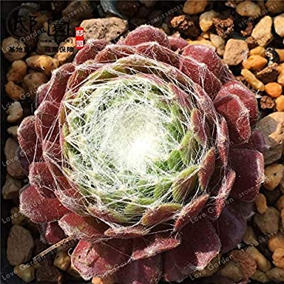 100 Pcs Sempervivum Arachnoideum Bonsai Rare Sempervivum Succulent Bonsai Potted Magnoliophyta Plants Potted Plant - (Color: 4) : Garden & Outdoor