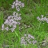 Everwilde Farms - 50 Wild Garlic Native Wildflower Seeds - Gold Vault Jumbo Seed Packet