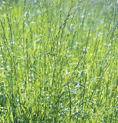 David's Garden Seeds Cover Crop Ryegrass YR5588 (Green) Non-GMO, Open Pollinated One Pound Package