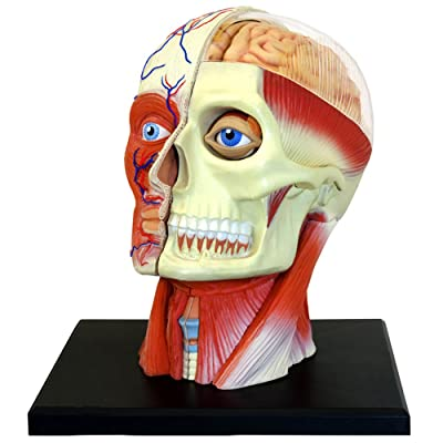 4D Vision Human Head Anatomy Model: Toys & Games
