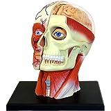 4D Vision Human Head Anatomy Model