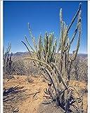 10x8 Print of San Pedro Cactus -Echinopsis pachanoi-, Bolivian plateau Altiplano, Bolivia (12510619)