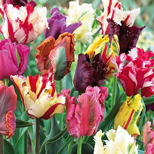 tulip bulbs pink - 7