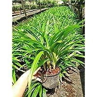 Pandanus Amaryllifolius Plant, Fragrant Pandan Plant, Pandan Leaf, 8-10 inches
