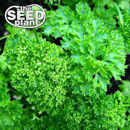 Triple Curled Parsley Seeds - 600 SEEDS NON-GMO ()