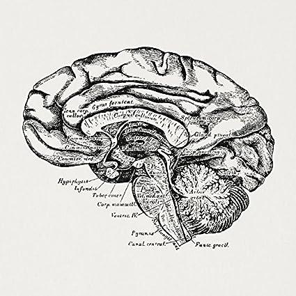 Amazon Antique Brain Cross Section Medical Diagram Anatomy