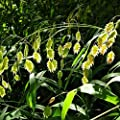NORTHERN SEA OATS Chasmanthium Latifolium 50 SEEDS