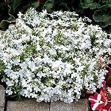 Flower Seeds Garden Lobelia White Lady (Lobelia erinus) Annual