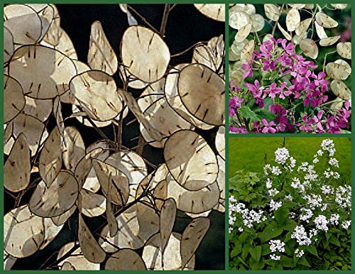 Money Plant Seeds, Violet & White, 2pk Special, Silver Dollar Plant, Honesty [Parahita Store]]()