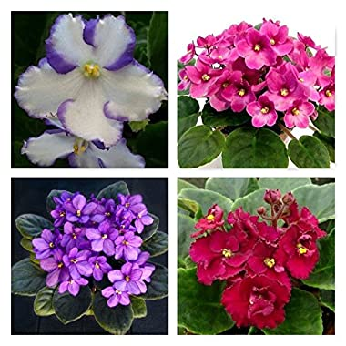 4 African Violets Flowering House Plants - Assorted FOUR PACK - IN BLOOM - 4  Pot by Jordan's Jungle