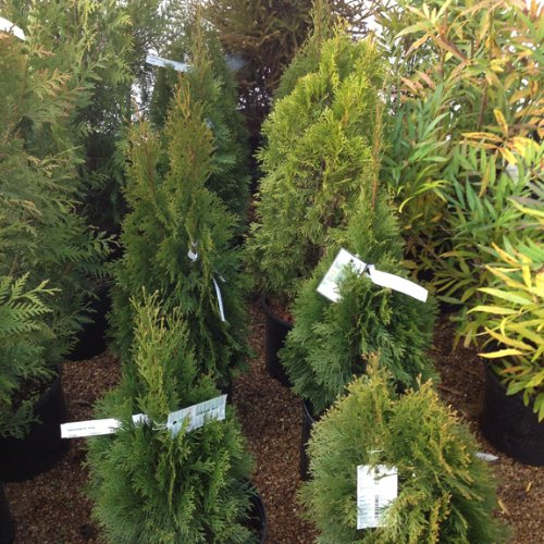 Emerald Green Arborvitae (Thuja occidentalis 'Emerald Gre...