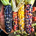 Glass Gem Corn - Rare Heirloom Variety (50 seeds) by PowerGrow (USA Grown)