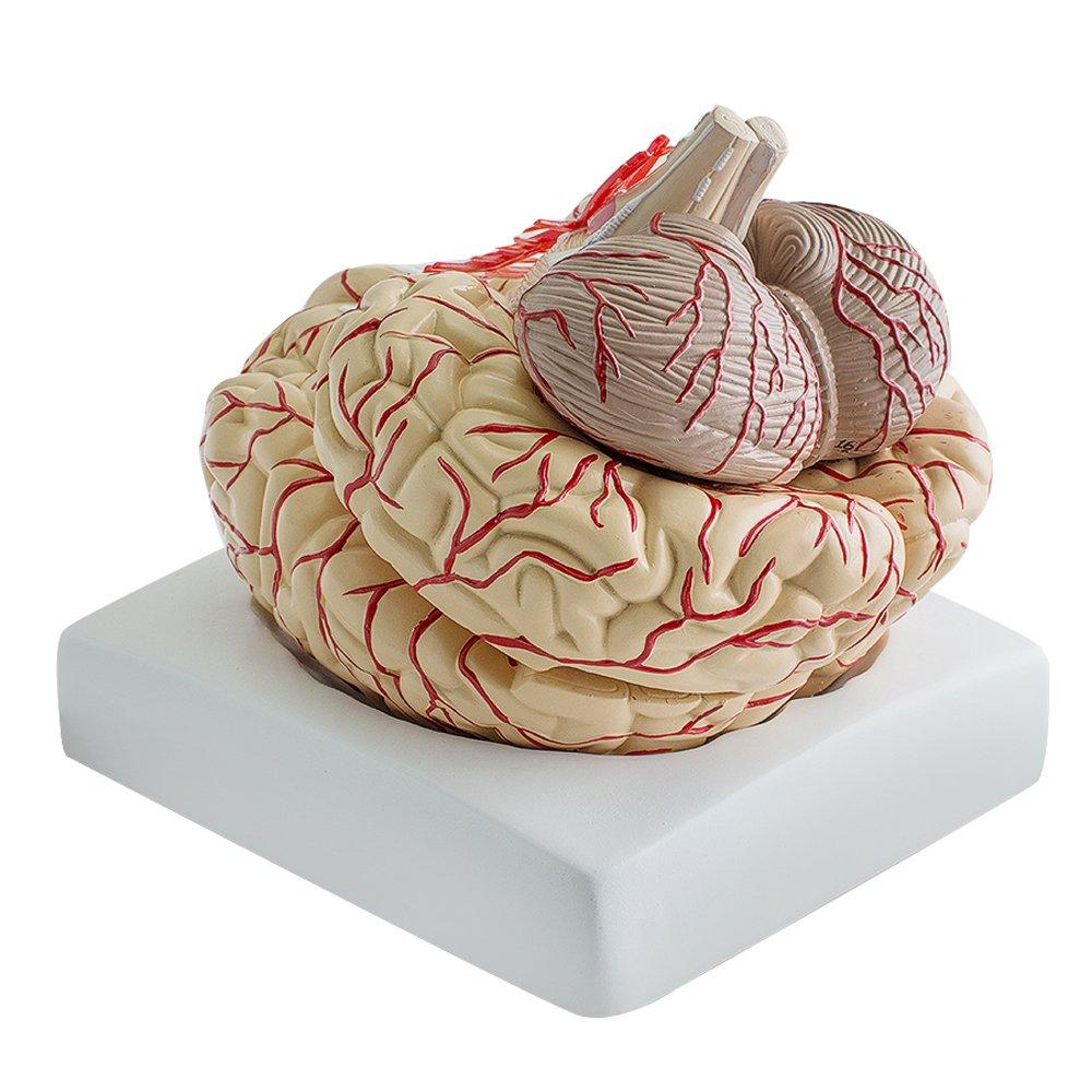 funwill Medical Anatomisches Gehirn Modell, Echthaar Anatomische ...