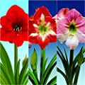 Bloomsz Economy Amaryllis Collection Plant