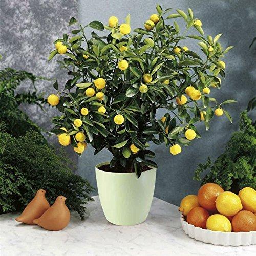 35 seeds dwarf meyer lemon tree indoor outdoor adparitio for How do you plant lemon seeds