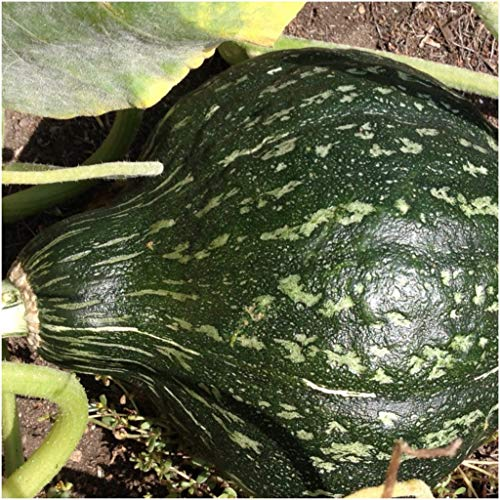 Gourd Squash Seeds (True Green Improved Hubbard), 25+ Premium Heirloom Seeds, Cucurbita Pepo, Giant Gourd Squash, (Isla's Garden Seeds), 99% Purity, 90% Germination, Non GMO, Highest Quality