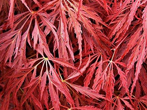 20 Seeds of Pendulum Julian Cut Leaf Japanese Maple - Acer Palmatum Var. Dissectum