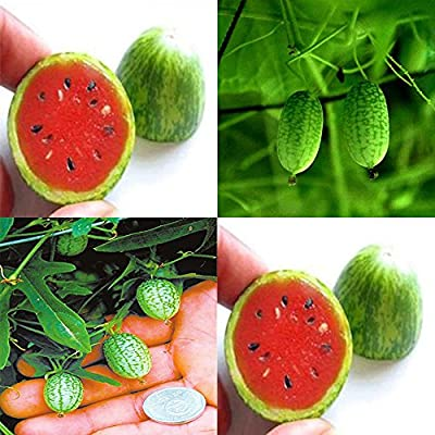 Dwqgroup 2 Pack the Rarest Red Mini Thumb Watermelon Seeds, Professional Pack, 20 Seeds / Pack, 15% Sugar Sweet Fruit