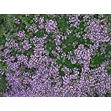 Thyme Creeping Lemon evergreen herb plant aromatic leaves pink flowers summer loved by bees ground cover 9cm pot FREE DELIVERY