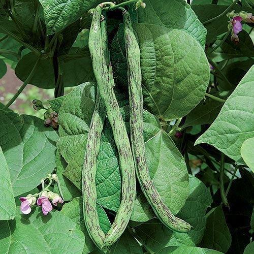 10' Dark Splash - Rattlesnake snap pole Beans 10 seeds bulk fresh preacher Drought resistant Snap