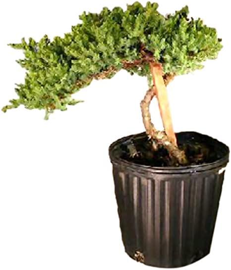 Amazon Com Bonsaiboy Pre Bonsai Juniper Bonsai Tree Staked Juniper Procumbens Nana Home Kitchen