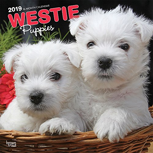 White Highland West Terrier Photos - West Highland White Terrier Puppies 2019 12 x 12 Inch Monthly Square Wall Calendar, Animals Dog Breeds Terrier Puppies (Multilingual Edition)