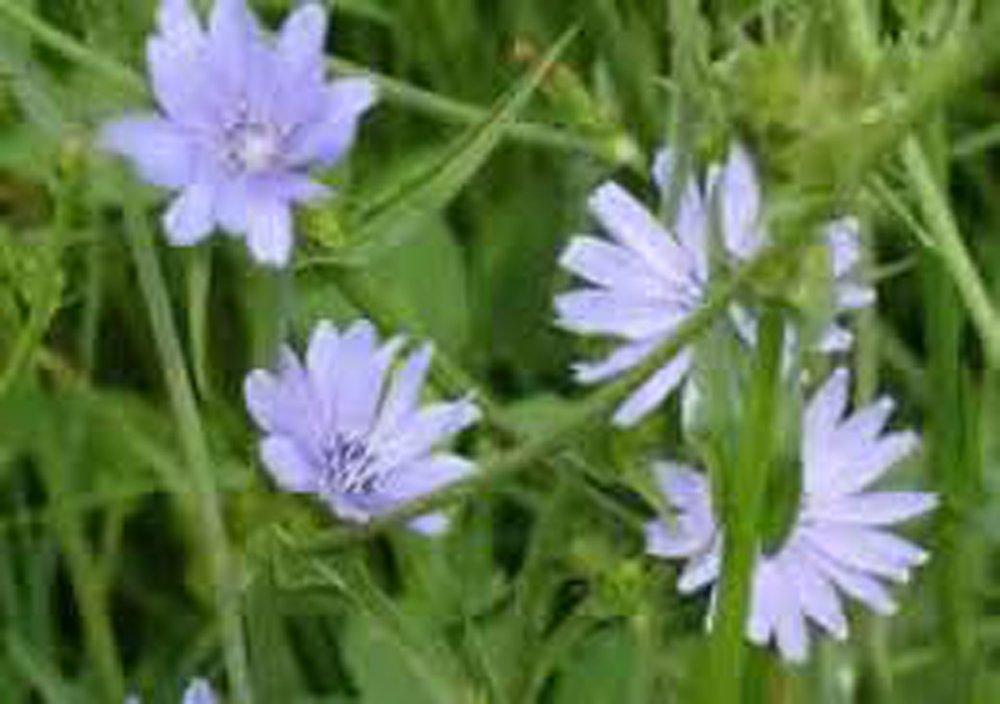 Beautiful Blue Cut Flower Seeds Organic Bluest Blue Chicory 100