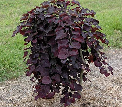 (7 Gallon Pot) Weeping Redbud Ruby Falls- Absolutely Striking, Unique Weeping and Twisting Branches Cascading Toward The Ground. Plant Shipped is Around 4-6 ft Tall by Pixies Gardens (Image #1)