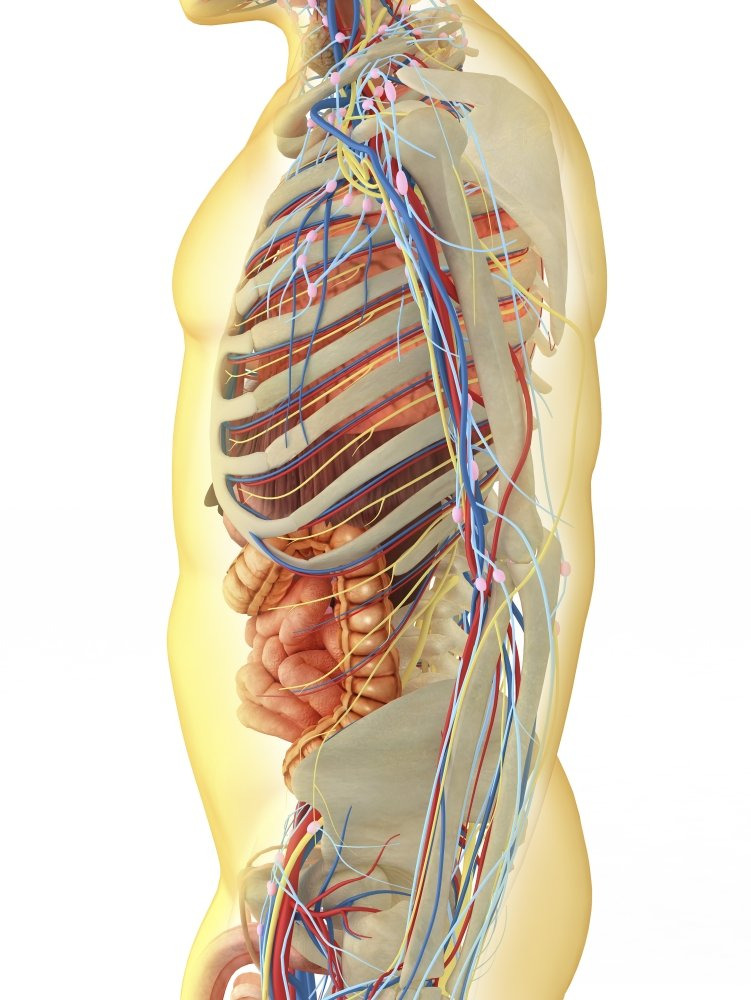 Amazon Transparent Human Body With Internal Organs Nervous