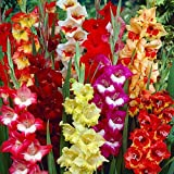 'Parrot Mix' Gladiolus 8 Bulbs - Super Value! 12/14 cm