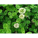 10000 white Clover Seeds