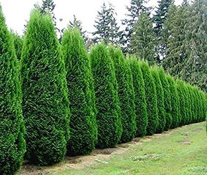 amazon com emerald green arborvitae tree thuja live plant 4