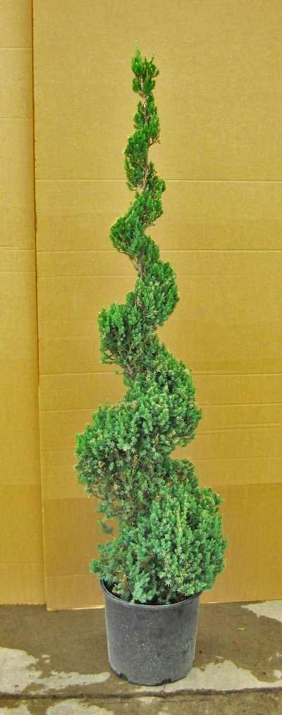 Blue Point Juniper Spiral Topiary, 3-4 Foot