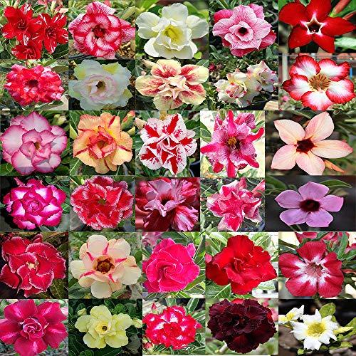 Shoppy Star Semillas DE GERMINACION: Raras Desert Rose ADENIUM OBESUM Colores Mixtos 100 Semillas REGISTRADAS Pista EN LÃNEA