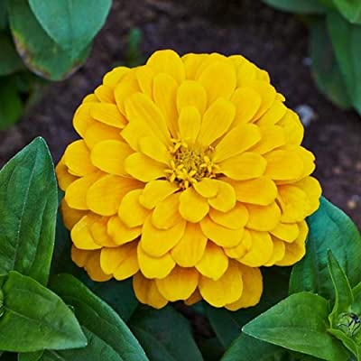 David's Garden Seeds Flower Zinnia Solid Color Canary Bird SL8301 (Yellow) 200 Non-GMO, Heirloom Seeds : Garden & Outdoor
