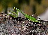 Praying Mantis Egg