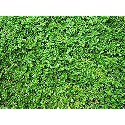 Herniaria Glabra Seeds - GREEN CARPET- Ground-Cover, Grow in poor soil and gravel(1800 Seeds) : Garden & Outdoor