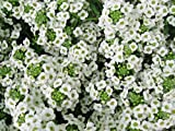 1000 White Sweet Alyssum Carpet of Snow Flower Seeds