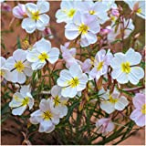 Package of 2,000 Seeds, Pale Evening Primrose (Oenothera pallida) Non-GMO Seeds By Seed Needs