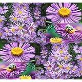 New England Aster Flower 300 Seeds - Symphyotrichum novae-angliae - Comb S&H
