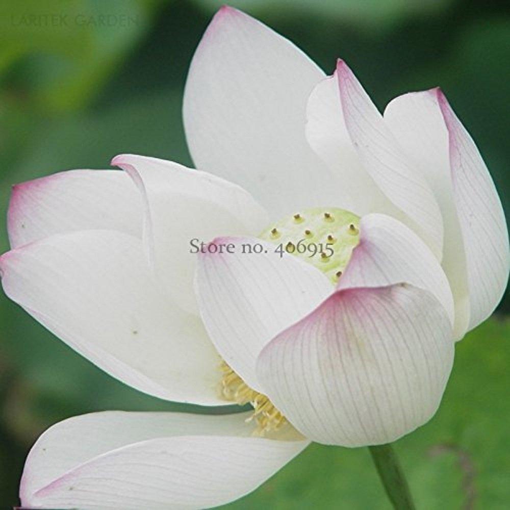 Seeds Market Rare Heirloom Large White Lotus Blooming Lotus Komarova with pink edge, 2 Seeds, fragrant light decorative flowers