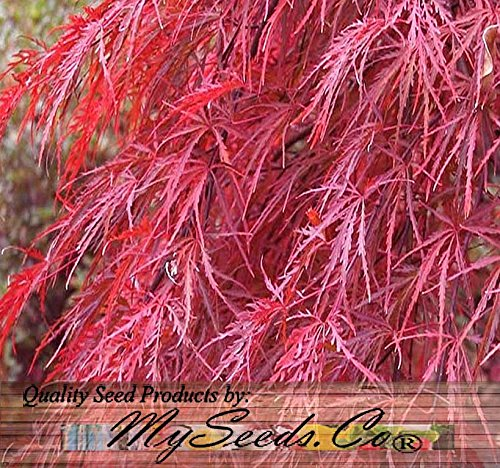 (Burgundy Lace, Green Lace Leaf, Red Lace Leaf, Japanese Red Maple Seeds - ACER palmatum matsumurae Seeds - By MySeeds.Co (Red Lace Leaf - 10 Seeds))
