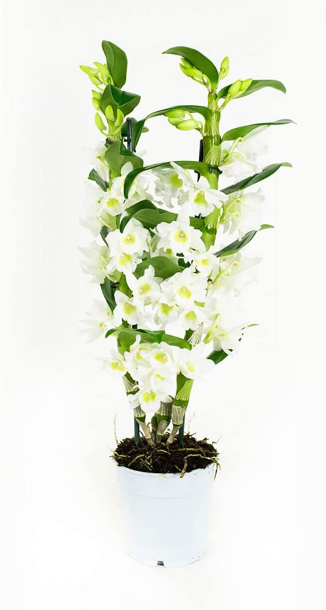 3 Stems White Flowers Dendrobium Nobile Apollon Bamboo Orchid Orchid from Botanicly Height: 50 cm