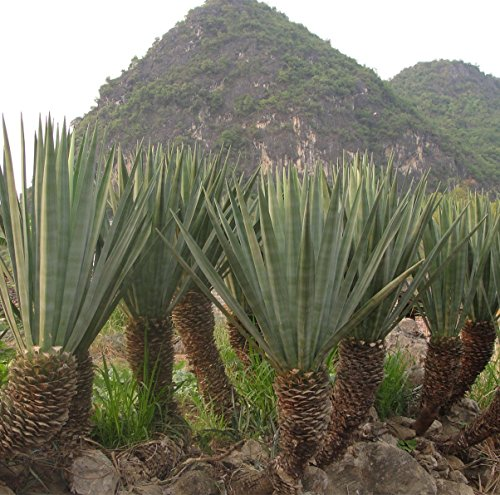 Seeds and farms 500 sisal hemp Agave tequila genera Leaf fiber crop seeds